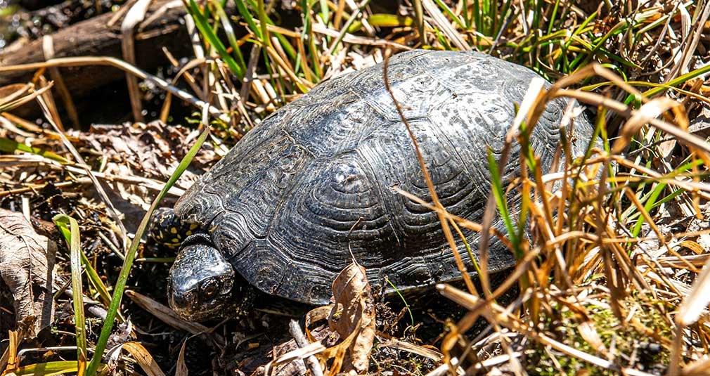 Naukowcy uratowali 25 żółwi błotnych